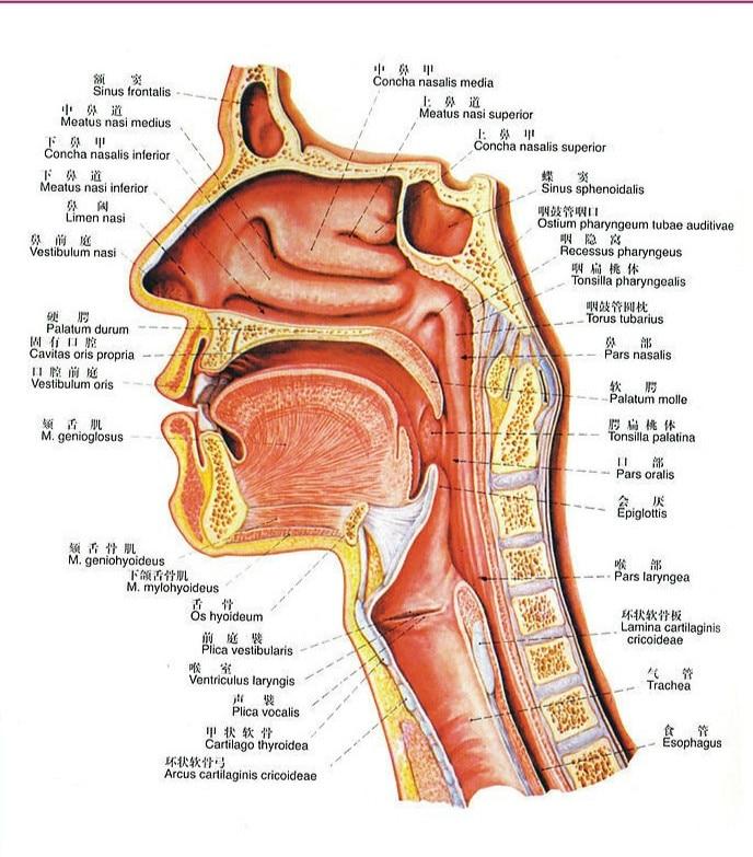 Ausgezeichnet Hüftknochen Anatomie Diagramm Fotos - Menschliche ...