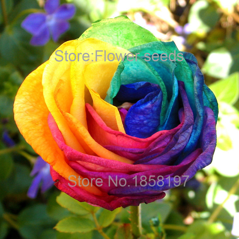 Rainbow roses seeds images galleries for Where to buy rainbow roses