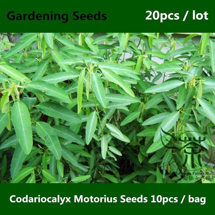 ^^Fresh And Mysterious Codariocalyx Motorius ^^^^ 20pcs, Dancinggrass Tiao Wu Cao Gardening ^^^^, Interest Telegraph Plant ^^^^