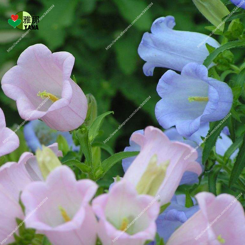 100 pcs Bellflower seeds,Bell Orchid Flower Seeds Campanula bonsai Flower seeds Convallaria Seed plant pot for home garden