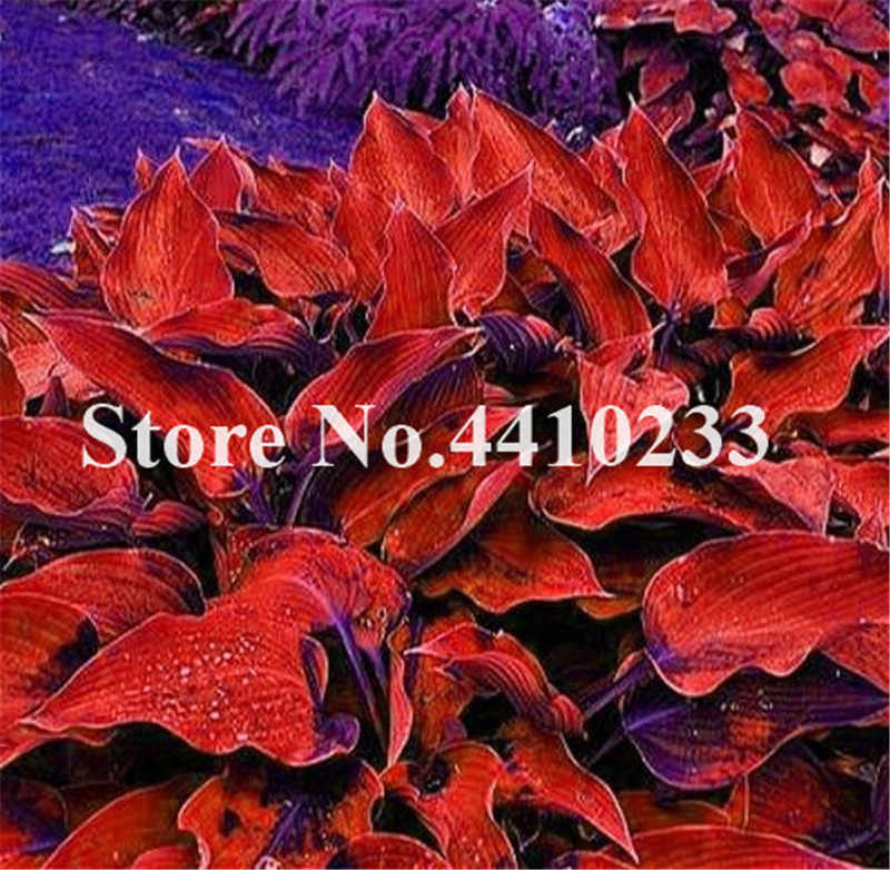 Detail Feedback Questions About Promotion 150 Pcs Beautiful Hosta