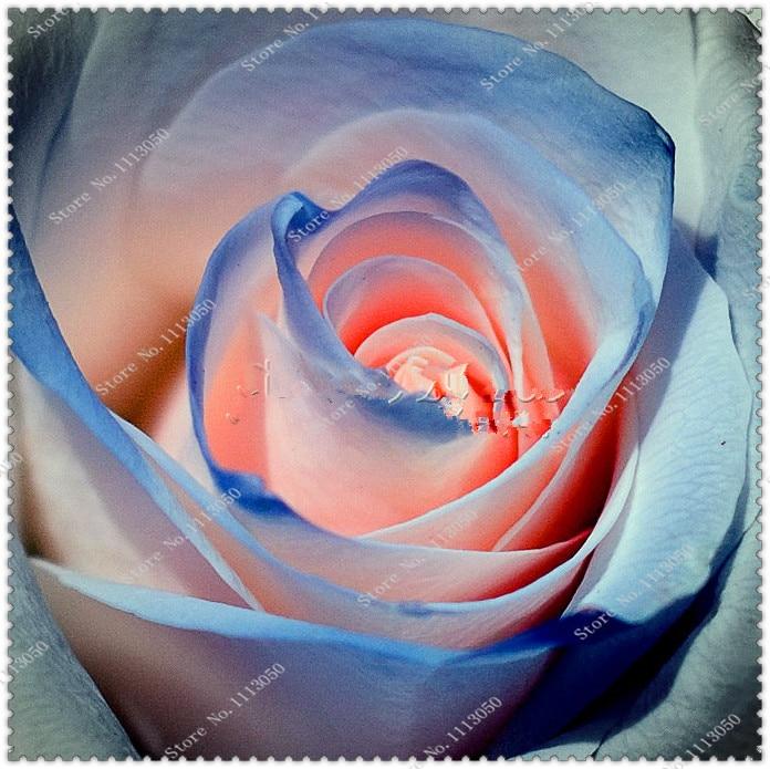 200pcs/bag Rare blue pink rose seeds easy growing fra Z