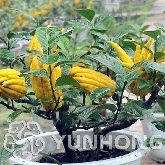 Usda Und Ec Certified Organic Cnidii Fructus Extrakt 10:1 Osthole Schönheit & Gesundheit Gesundheitsversorgung