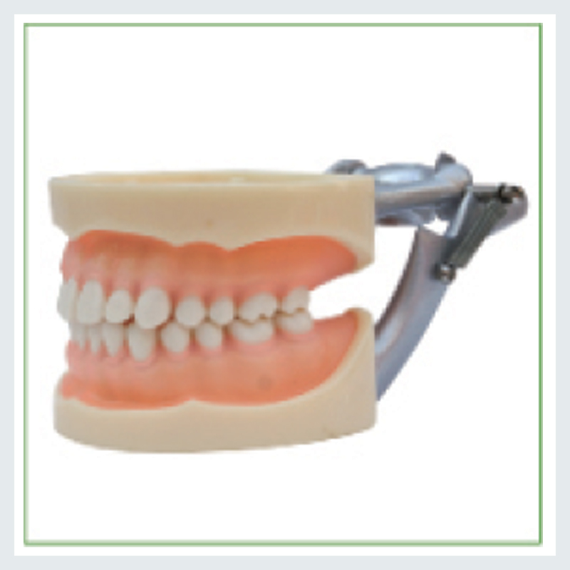 1PC Standard model dental tooth model there are 28pcs teeth ,Soft Gum,Screw fixed,DP Articulator 13011 dh109 soft gum 28pcs teeth standard jaw model medical science educational dental teaching models