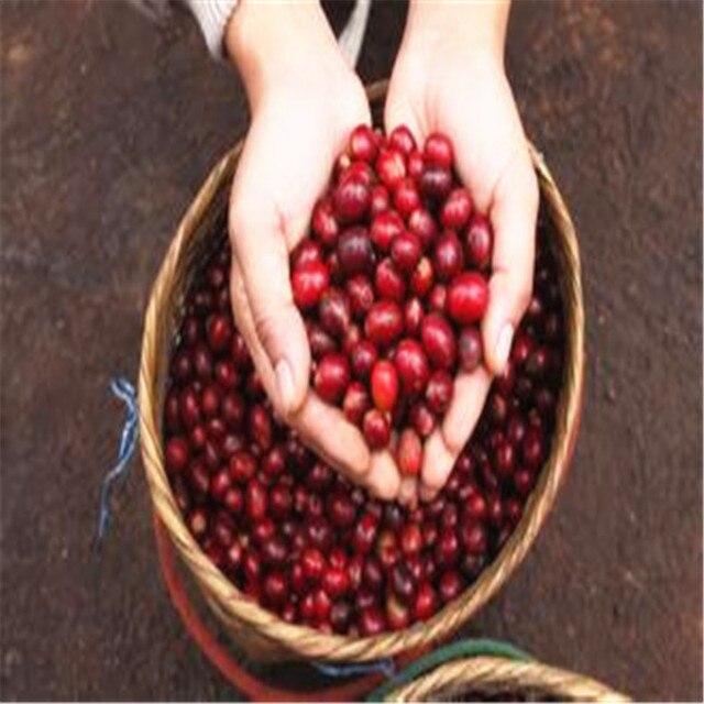 Puro Grão De Café Arábica Coffea Arabica Árvore Bonsai Vasos Ao Ar Livre Fresco 100% Natural Coffeebean para Vaso de Flores Planta 20 pçs/saco