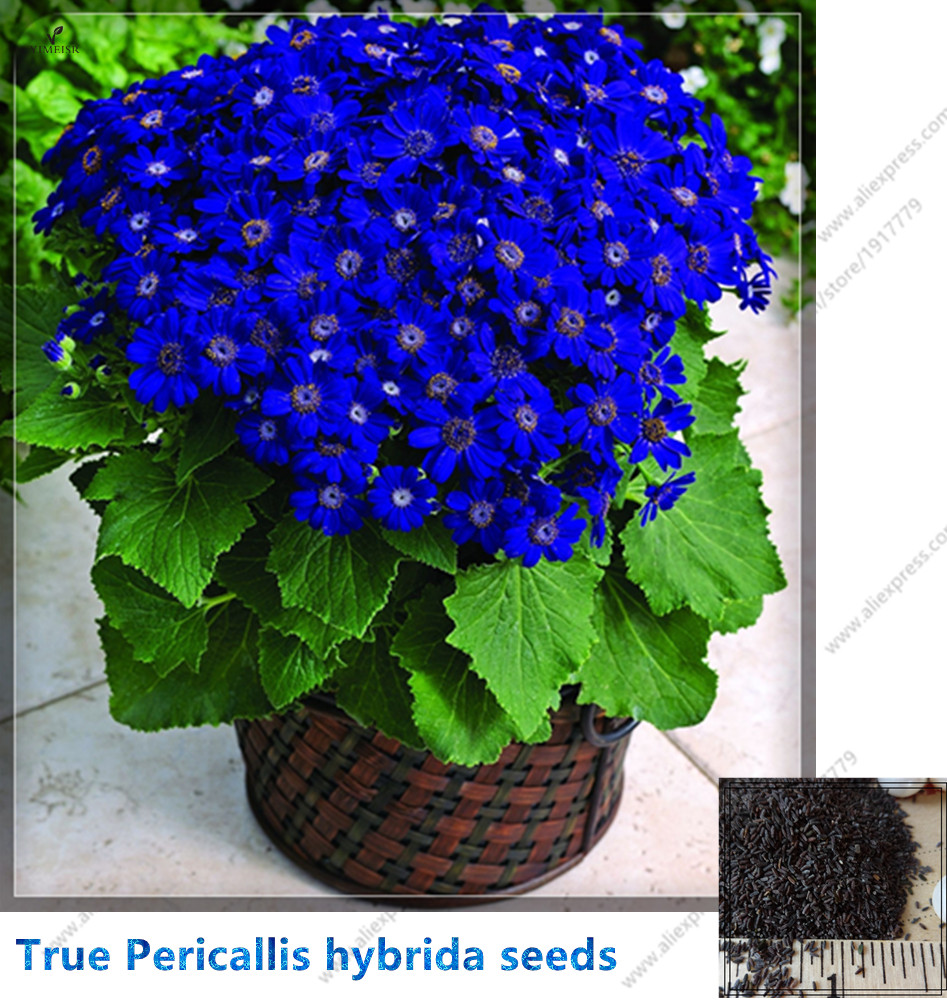 True Cineraria Seed, Pericallis hybrida(Blue, red, pink) Bonsai potted Flowers Seeds for DIY Home Garden plant 30seeds/bag