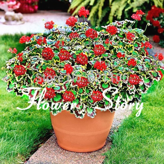 10 Geranium Seeds, Real Seeds(guranteed ), Variegated Geranium Potted,  Window ,balcony,high Germination , Winter Garden Flower On Aliexpress.com |  Alibaba ...