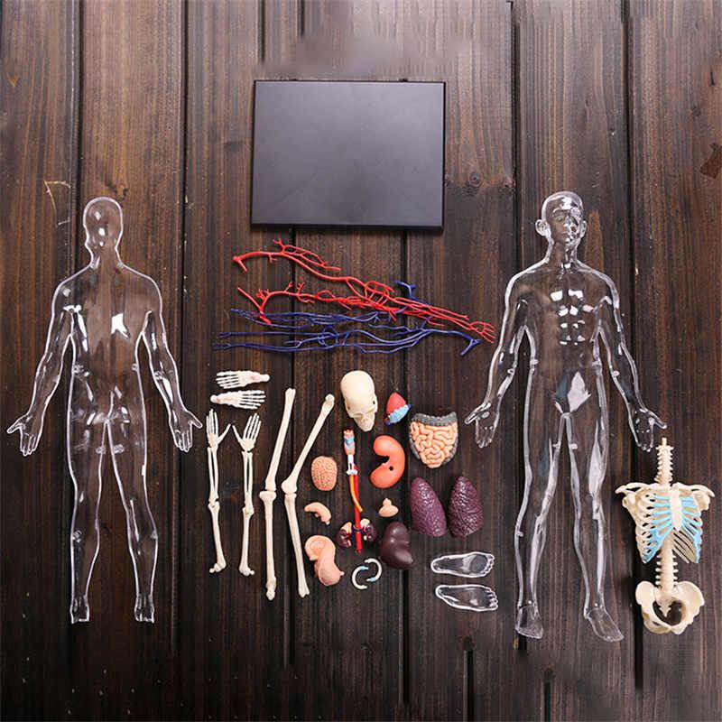 4D 1:6 Transparente Dos Órgãos Internos Do Corpo Humano Anatomia Médica Ensino Modelo Montagem do Enigma Brinquedo Suprimentos de Educação de Laboratório