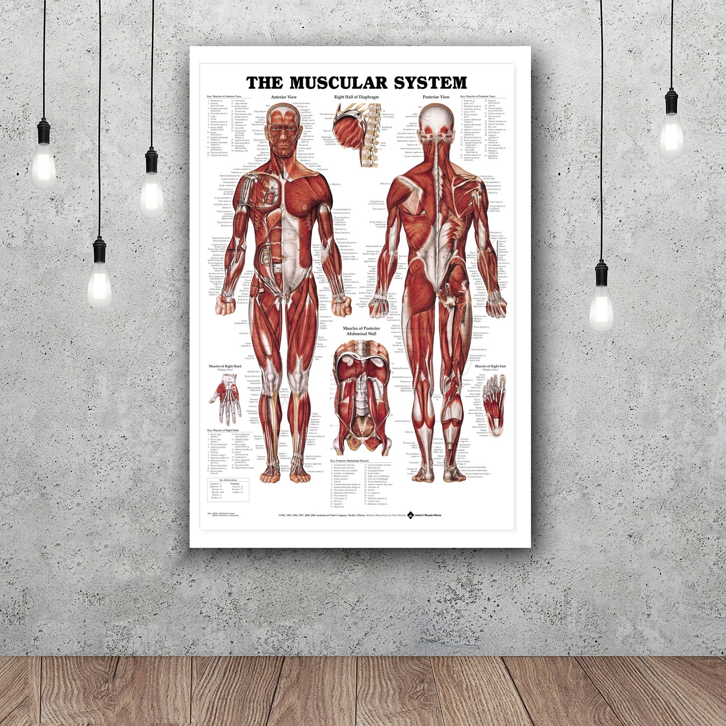 Hot Sale Human Body Anatomical Chart Muscular System poster Decor ...