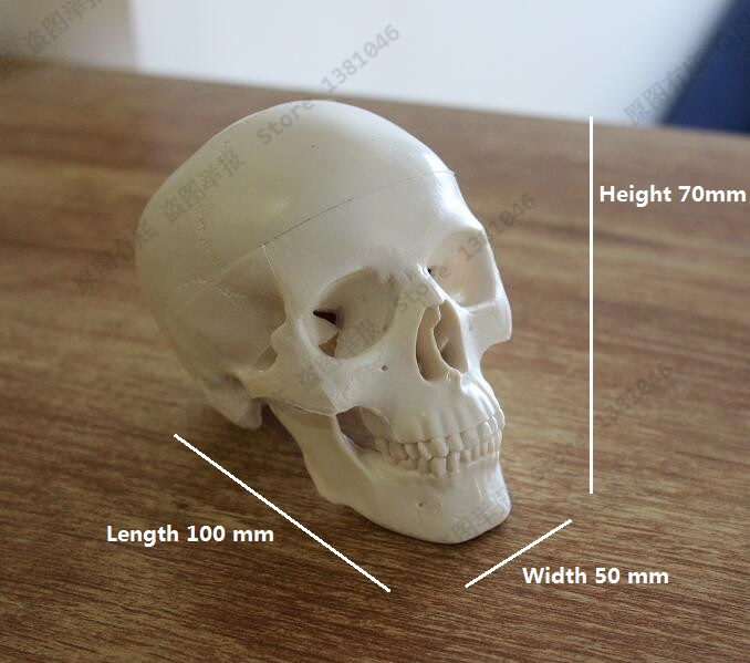 Mini Skull Human Anatomical Anatomy Head Medical Model mini skull human anatomical anatomy head medical model human anatomical skull model model of the medical skull painting model