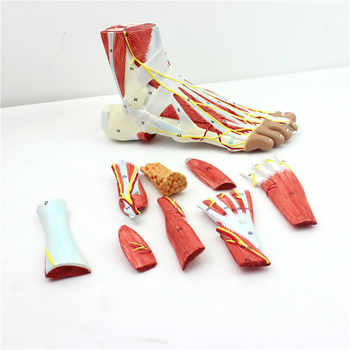 9 parts 1:1 Life Size Human Foot Joint Muscle Ligament Plantar Anatomical Model Surgery Foot Muscle Neurovascular Model - DISCOUNT ITEM  45% OFF All Category
