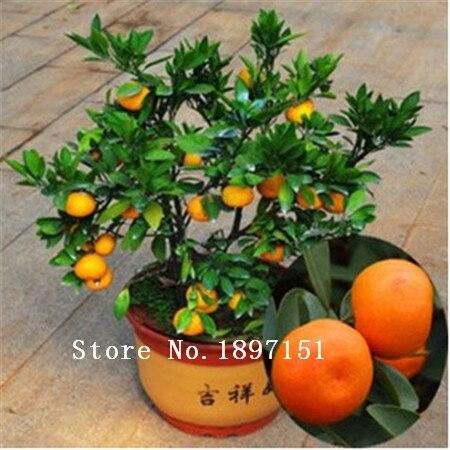 Big sale 50pcs Edible Fruit seeds Mandarin Bonsai Tree Seeds, Citrus Bonsai Mandarin Orange Seeds