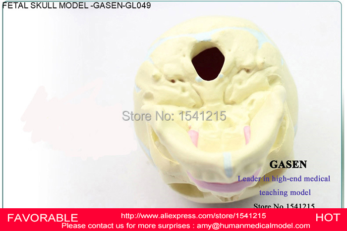 MEDICAL HUMAN BODY ANATOMICAL CHILDREN  INFANTS  MEDICAL FETAL  MODEL BABY  FETAL MODEL SKELETON SKULL MODEL GASEN-GL049 human anatomical male body integral skeleton organ skin medical teach model school hospital