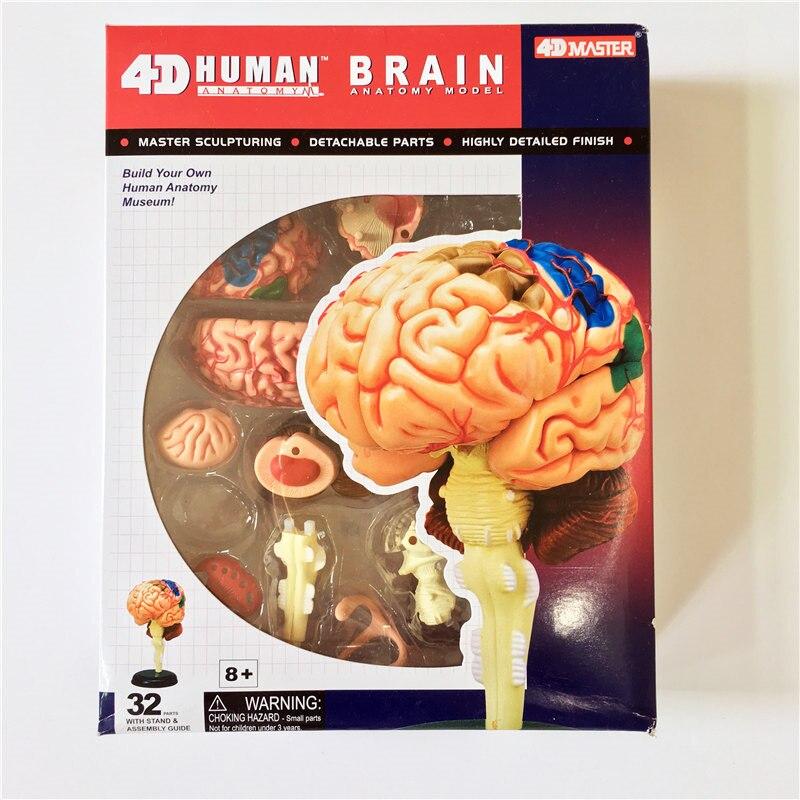 4D maestro cerebro humano modelo de estructura ensamblado anatomía ...