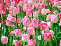 Free shipping pink 5blubs flower bulbs tulip bulbs sementes de flores casa e jardim garden bonsai tree home decoration gift