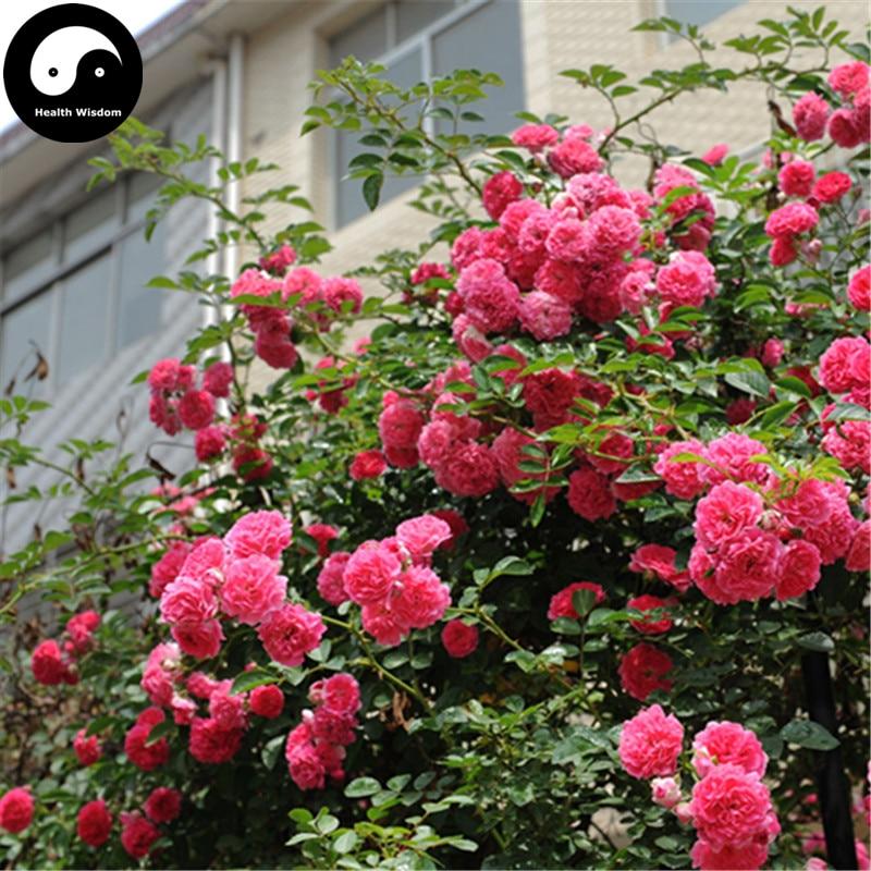 Buy Chinese Rose Tree Semente 200pcs Plant Flower Wild