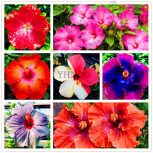 Big selling!105pcs/bag 24 Colors Dinnerplate Hibiscus Perennial Flower home& garden plant use10-12 Inch Flowers(China)