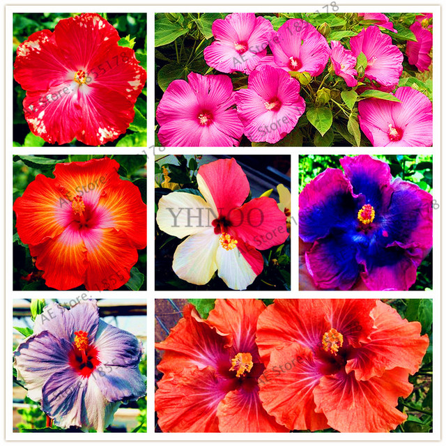 Big selling!105pcs/bag 24 Colors Dinnerplate Hibiscus Perennial Flower homeu0026 garden plant use10 & Big selling!105pcs/bag 24 Colors Dinnerplate Hibiscus Perennial ...