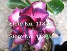 20 семена — свежий редкие » фиолетовый город » Adenium Obesum семена — бонсай семена