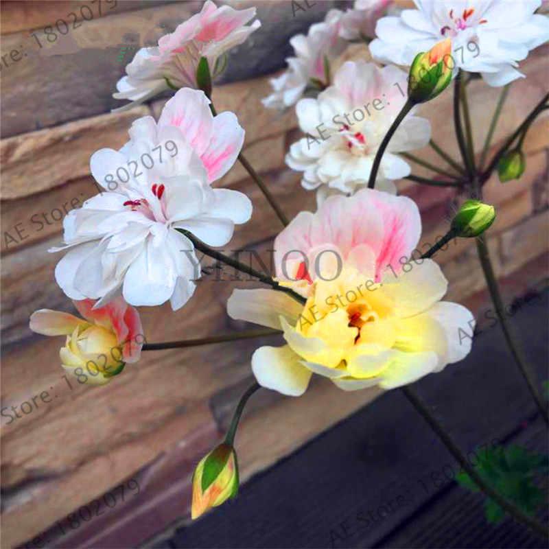 حقيقية! 100 قطعة/الحقيبة متعددة اللون المسك بونساي ، المعمرة زهرة حديقة Pelargonium ، داخلي النباتات جميلة زهرة فلوريس ،