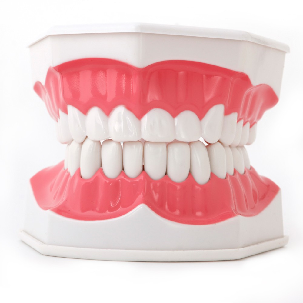Dental Adult Education Teaching Model with Removable Lower Teeth and ToothbrushDental Adult Education Teaching Model with Removable Lower Teeth and Toothbrush