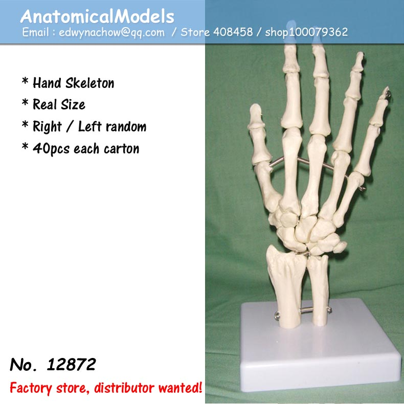 12872 Life Size Medical Anatomy Human Hand Joint Skeleton Model ...
