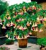 Big Promotion!100 datura Plants mini bonsai flower for home garden planting Brugmansia Datura floresling Rare flower