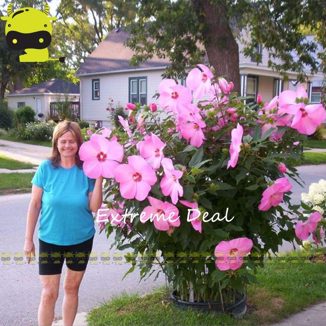 Giant hibiscus flower seedshibiscus moscheutosmix colors perennial giant hibiscus flower seedshibiscus moscheutosmix colors perennial cottonrose hibiscus seeds rare bonsai mightylinksfo