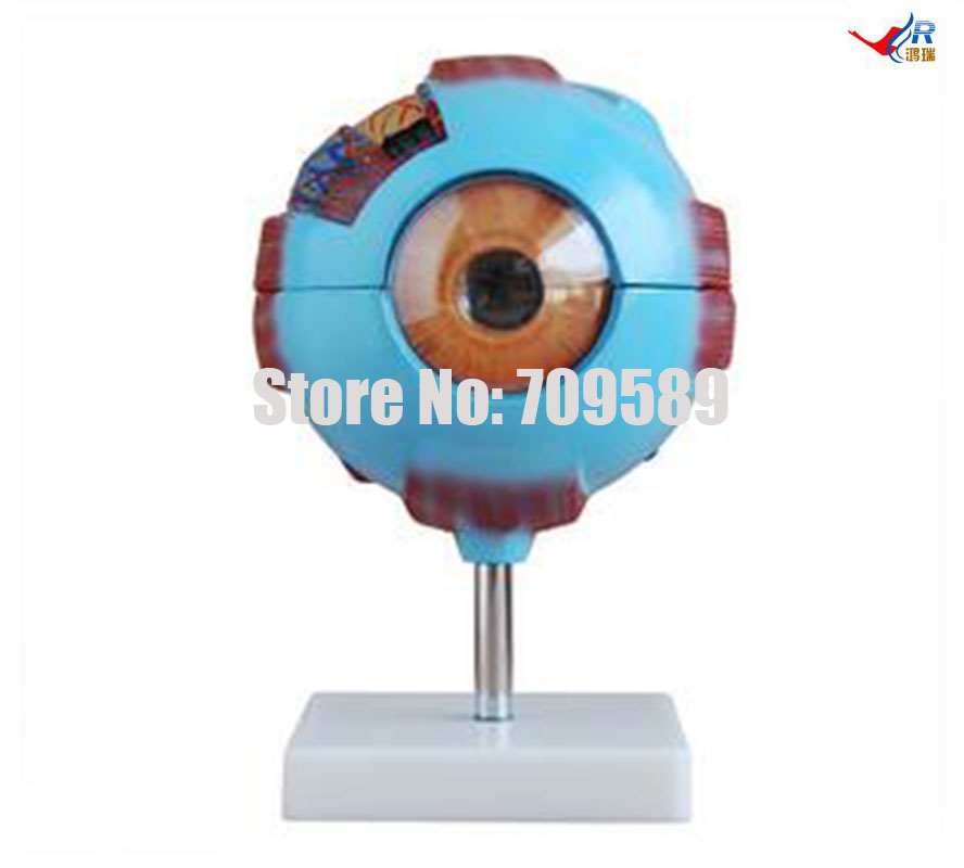 ISO Big Eye Model, Eyeball Anatomical Model iso median section of head model anatomical head model