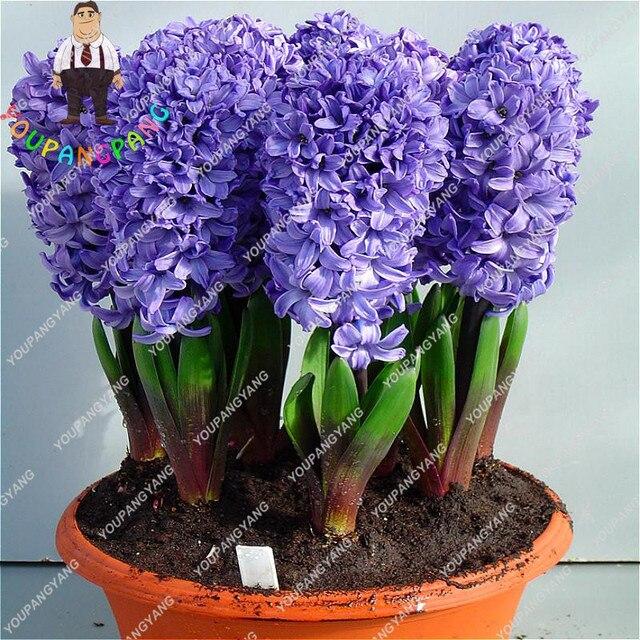 50 pz Blu Hyacinthus Orientalis bonsai Jardin Giacinto bonsais Piante In Vaso di