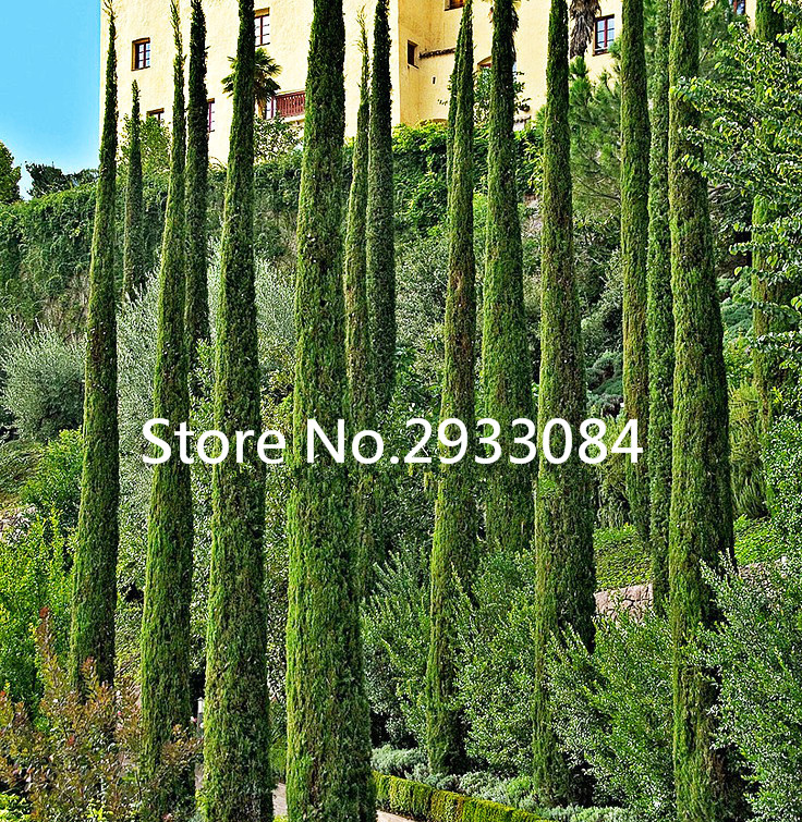 50 ITALIAN CYPRESS (Cupressus sempervirens )Tree Seeds,popular hardy bonsai seeds for home garden planting Free shipping