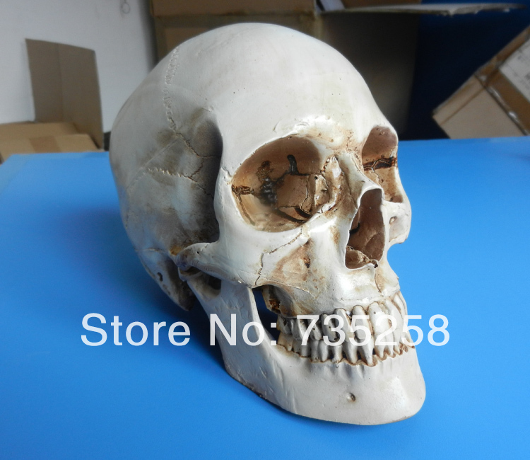 Human skull model,1:1 skull model,Resin skull model,Art skull modelHuman skull model,1:1 skull model,Resin skull model,Art skull model