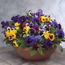 Сад морозостойкость Цветок анютины глазки, разноцветные цветок семян анютины глазки для DIY бонсай