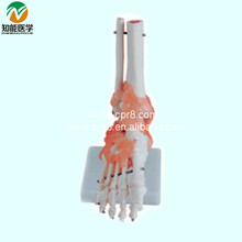Foot Model With Ligaments   (Life-size Human Foot Skeleton Model) BIX-A1017  MQ024