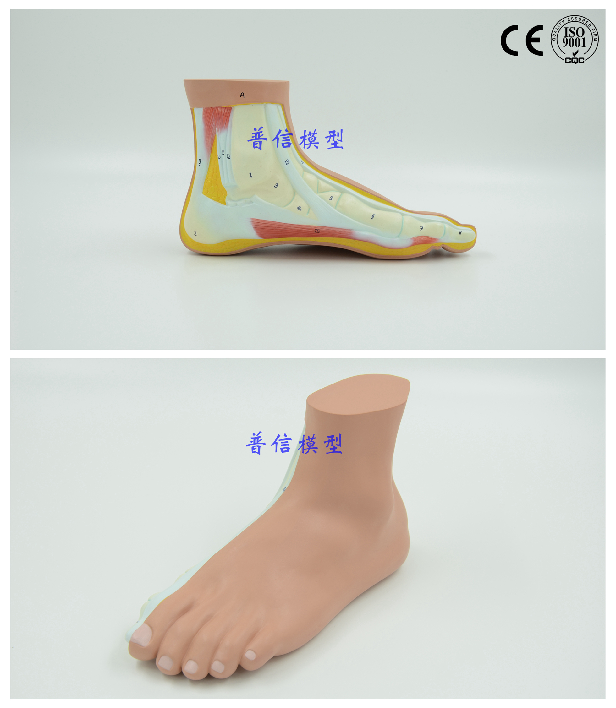 Free shipping&Flat foot, foot joint model, skeleton model, flat foot ...