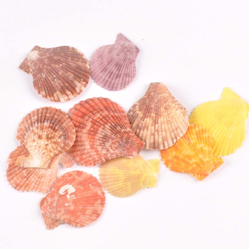 No Hole Sector Natural Shell DIY Beach Decoration For Home Scrapbook Seashells Handmade Craft Accessories 10pcs 35-50mm TR0221