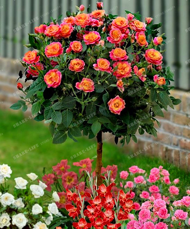 100PCS Chinese Lovely Rose Tree Plant Seeds Beautiful Flowereasy To Grow Ideal DIY Home Garden Potted Balcony&Yard Flower Plant