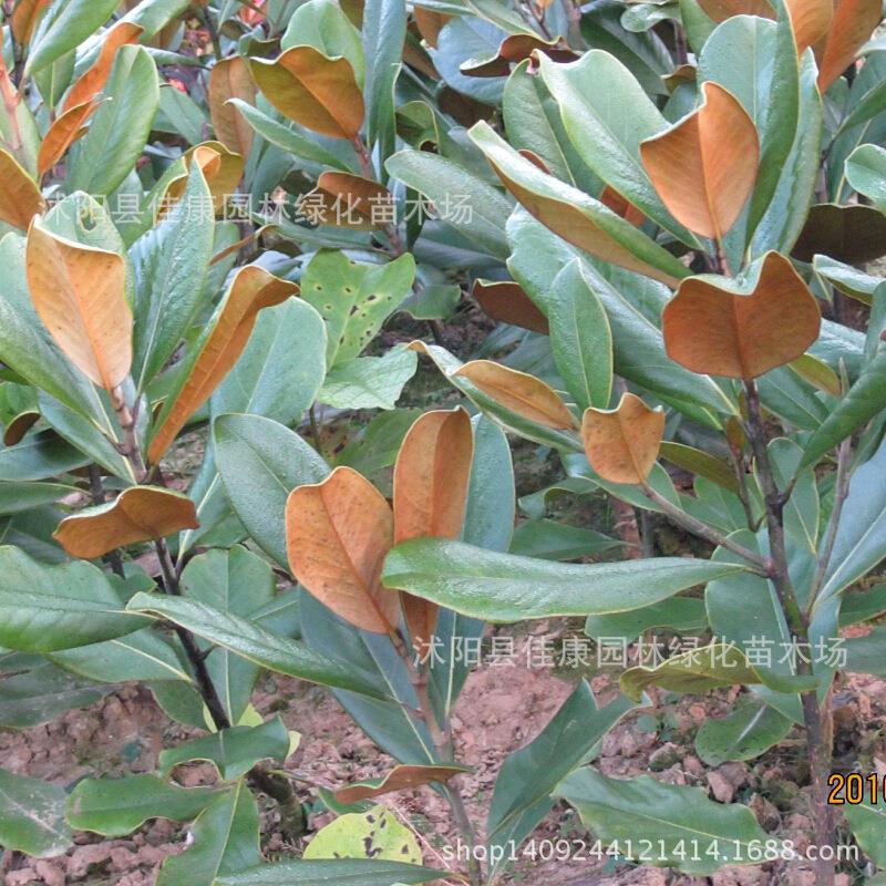 Arbre plante magnolia fleur Magnolia grandiflora véritable localisation plante 200 g/paquet