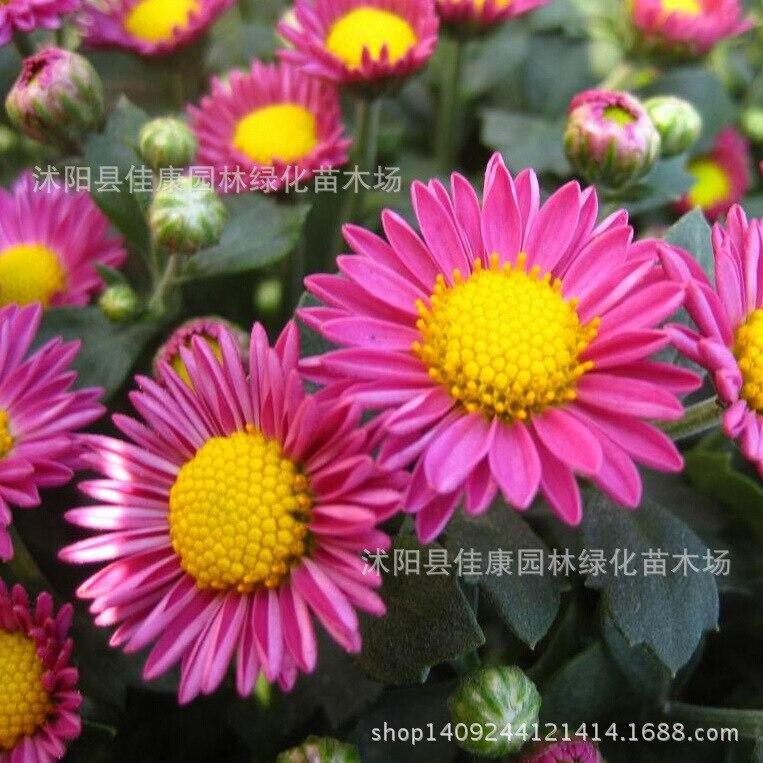 Aster fleur bonsaï fraîchement collecté plante vanille fleur bonsaï variété aster chrysanthème plante Jiangxi juillet cire 200g