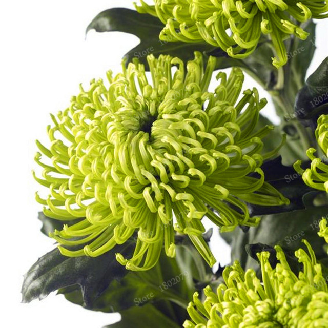 Rare Perennial Flower Seeds Indoor Bonsai Plants  For Home  Garden