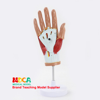 Sketch muscles Anatomical model hand Tendon model Palm model Fingerprint Muscle anatomy Medical teaching equipment