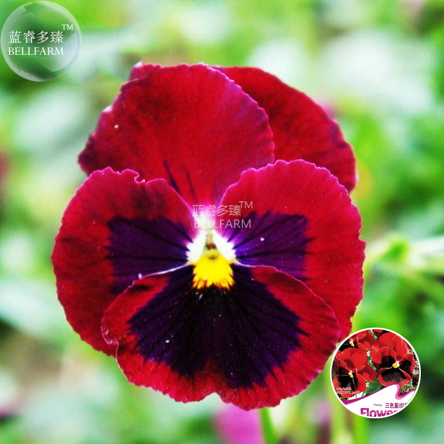 Bellfarm Rare Pansy Red Black Petals With Yellow Eye Flowers Seeds