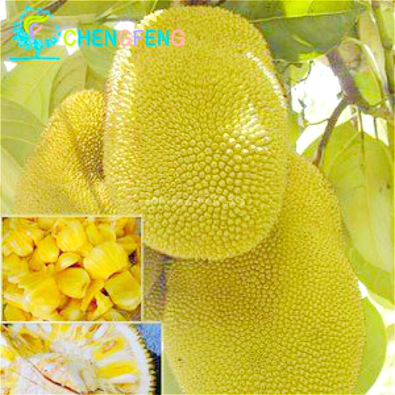 Tropical China Seeds 5pcs A Lot Jackfruit Seed Rare Gia