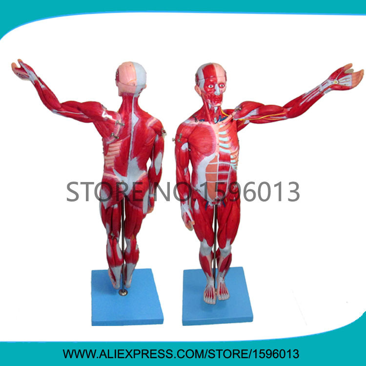 HOT 78cm Full Body and Muscles Model, Muscles of Male, Muscle Anatomical Model iso muscles of male model anatomical model of muscles