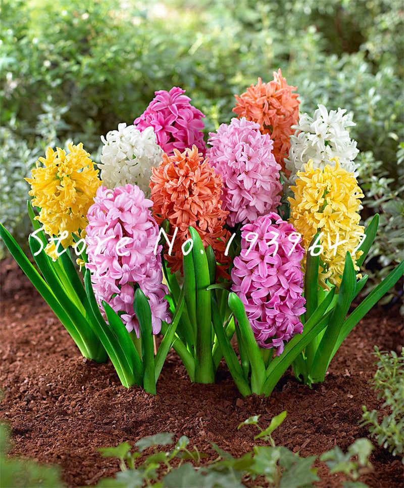 Vendita calda! 100 pcs Vero Giacinto bonsai, Acqua Giacinto Fiore palnts, Perenne Coperta di Fiori Bonsai Vaso Per Piante Da Giardino di Casa