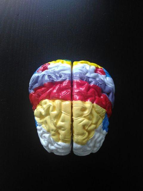 Brain Anatomical Mhuman Body Model Authentic Medical Writ Large