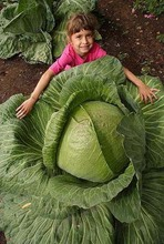 100Seeds Rare Giant Cabbage Seeds, High-Quality Vegetable for home garden