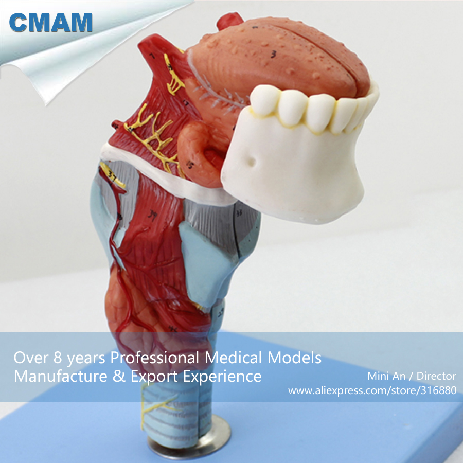 12506 CMAM-THROAT02 Anatomical Structure of Laryngeal Cartilages, Medical Science Educational Teaching Anatomical Models cmam a29 clinical anatomy model of cat medical science educational teaching anatomical models