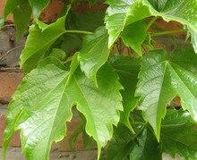 Flower seeds parthenocissus skgs parthenocissus seeds foliage flower garden plants indoor – 20 seeds