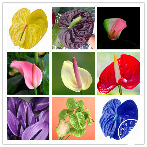 100 Pieces/bag Rare Flower Bonsai Anthurium Plantas Balcony Potted Plant Anthurium Flower Flores for DIY Home Garden,#X52II1100 Pieces/bag Rare Flower Bonsai Anthurium Plantas Balcony Potted Plant Anthurium Flower Flores for DIY Home Garden,#X52II1